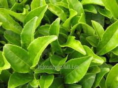 Extract of green tea