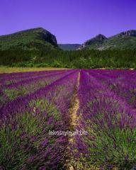 Essential oil of lavender