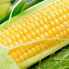 Hybrid of corn of a recreation center 434 Monsan