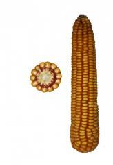 G_brid of a kukurudza Zh_nchin SV