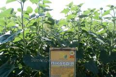 Семена подсолнечника Пикардия под Евро-Лайтинг