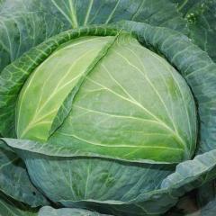Cabbage to a grade Agresor