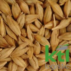 Fodder barley
