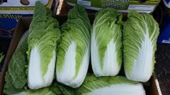 He Beijing cabbage for expor