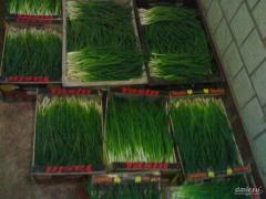Лук зелёный ( перо )  возможен експорт