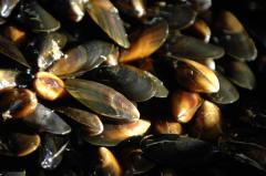 "Mussels are ""Irish"