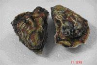"""Oyster of """"Kadore"""