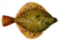 Flounder of Pleys