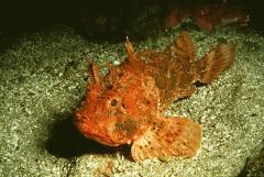 Black Sea skorpena, Black Sea sea ruff