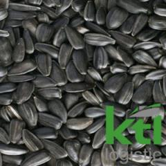 Seeds of sunflower olive