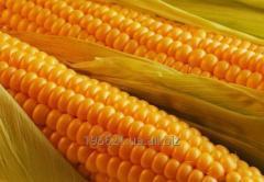 Cake of a corn germ. Pokrutiny kukuiKného