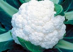 Cauliflower of a grade of Ardent of F1