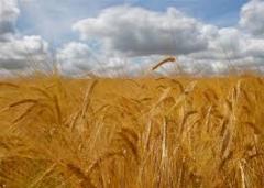 Seeds of barley of Ilot Elite