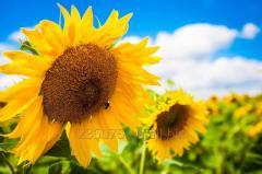 Семена подсолнечника Ясон им. Юрьева 100-105 дней