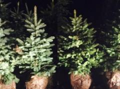 Fir-tree for New year