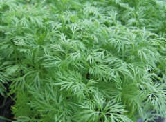 Seeds of dill