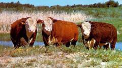 Молодняк крупного рогатого скота