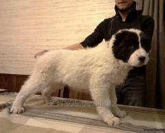 Puppies Turkmen alaby