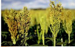 Seeds of a sorghum 366x73 *