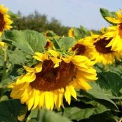 Benneteau's sunflower (extra)