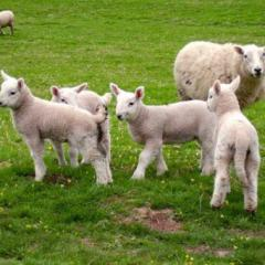 Lambs from sagination