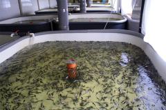 We offer a whitebait / zarybok sturgeon fishes: