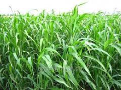 Seeds of Sudan grass
