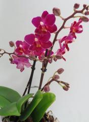Орхидея фаленопсис Midi