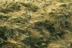 Seeds of summer barley of Alisian 1 reproduction