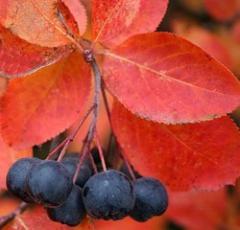 Saplings of a black-fruited mountain ash