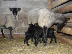 Романовские овцы, баранина.Романовская порода овец