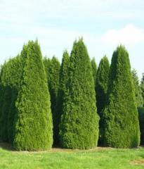 Coniferous plants