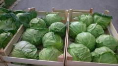 The cabbage is white, late