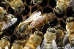 Пчелиные матки Хмельницкая область