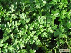Семена петрушки Карновал