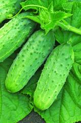 Cucumber seeds Competitor