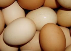 Egg incubatory Hercules