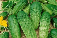 Cucumber seeds Phoenix