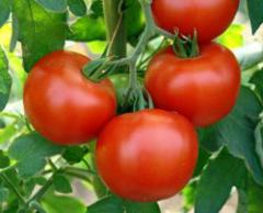 Семена томата Волгоградский 5\95