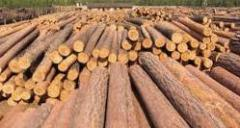 Raw materials wood technical pine