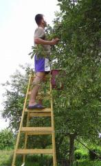 Sale of step-ladders of wooden, bilateral ladders.