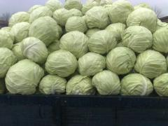 Cabbage white fresh sale wholesale from the