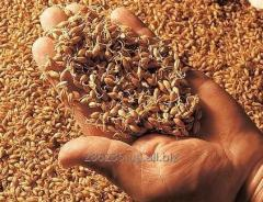 Malt rye fermented - Ukraine