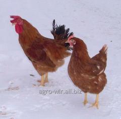 Суточные цыплята кур породы Тетра Н с вакцинацией