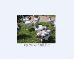 Суточные цыплята кур породы Мастер Грей с