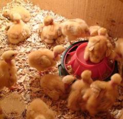 Daily chickens of hens of breed Golosheyka