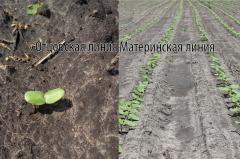 Семена подсолнечника под евролайтнинг Богдан,