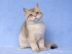 Kitten British short-haired, color gold