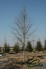 The linden is ordinary, American, large-leaved