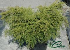The juniper is Chinese, lying, coastal,